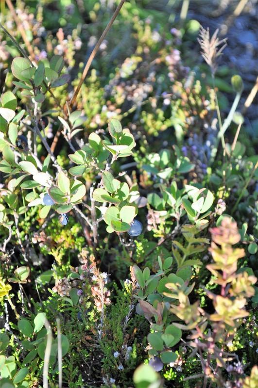 Þingvellir - blueberries growing in the valley