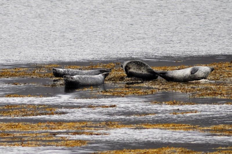 Iceland, Westfjords, seal colony at Litlibær