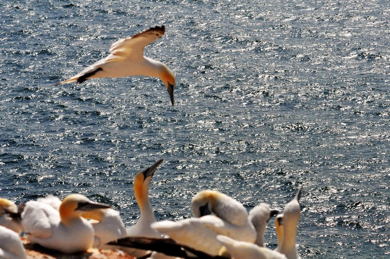 063 gannet colony