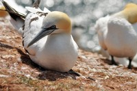 064 gannet colony