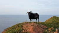 028 superior sheep