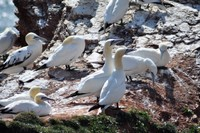 051 gannet colony