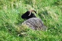 026 sheep on highland