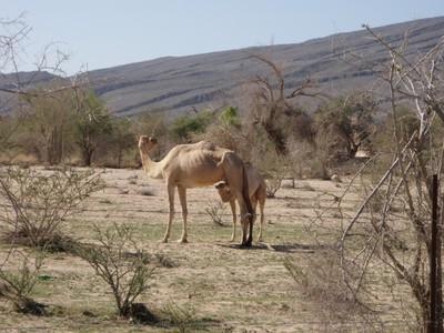 Nursing Camel outside Al Hamra