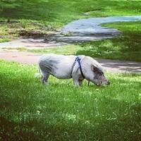 Pet Pig in Frick Park