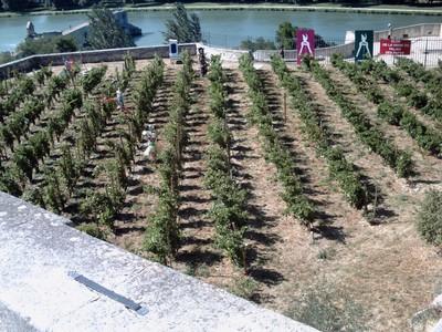 AVIGNON  FRANCE.  Vineyards Chateauneuf du  Pape.