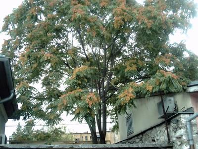 SARAJEVO.   Tree at Morica  Han.