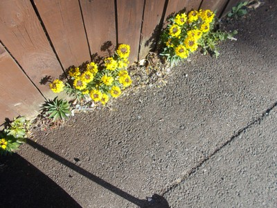 FLOWERS AGAINST THE FENCE.