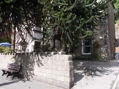 MATLOCK BATH.  ASHDALE GUEST HOUSE, with large Monkey Puzzle Tree  .
