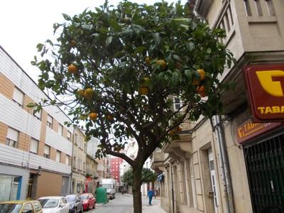 PONTEVEDRA  SPAIN.   Lemon  tree.  There were many  flowering  and  fruit  trees.