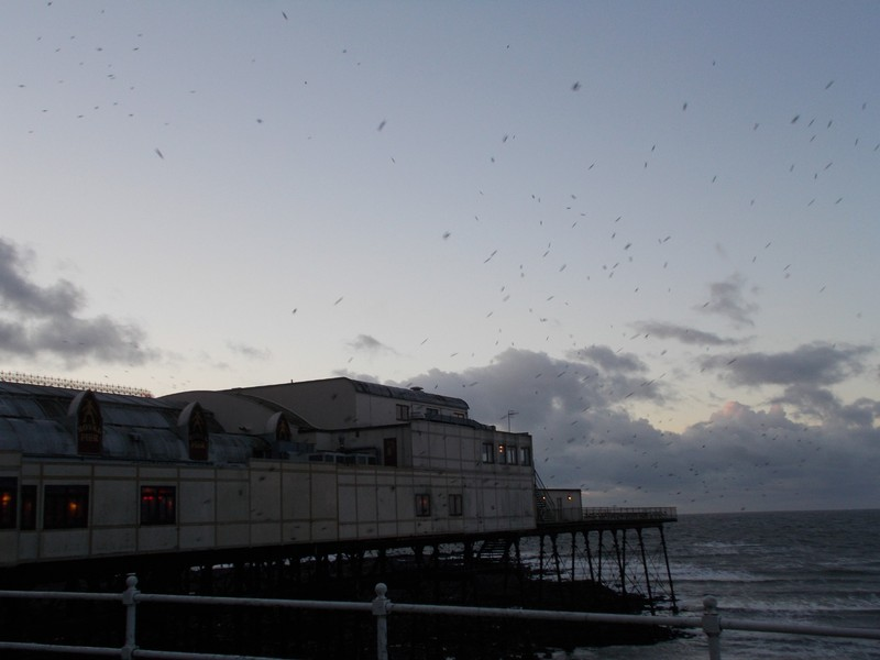 ABERYSTWYTH  Wales. Stallings roosting, to under the Pier.
