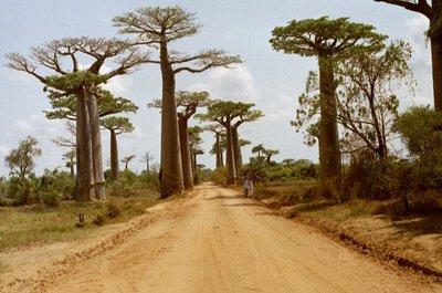 Baobab_Avenue_1.jpg