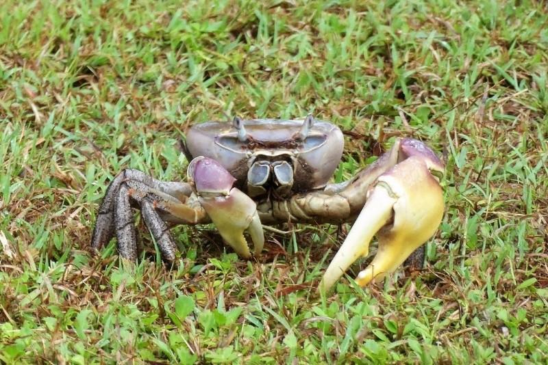 Big juicy claw on a crab.