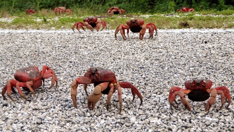 First glimpse of the red crab migration (tail end of migration of females towards spawning).