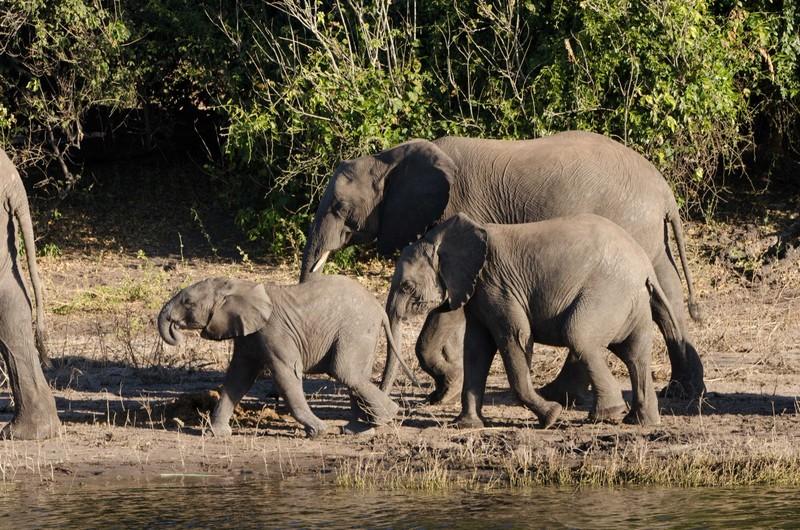 Chobe River Elephants