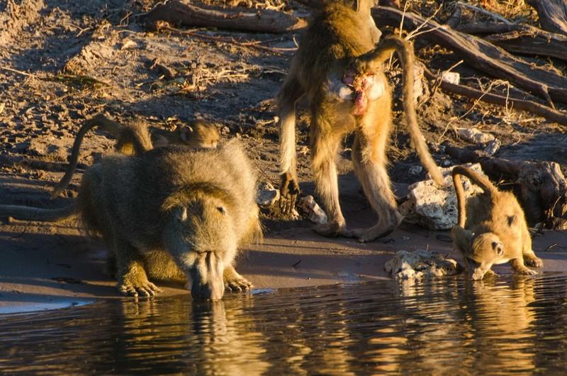 Chobe River Baboons