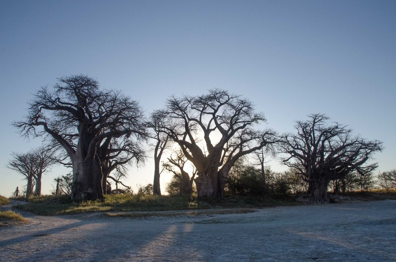 Baine's Baobabs at Sunrise