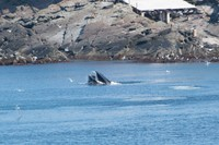 August Whales in Pouch Cove