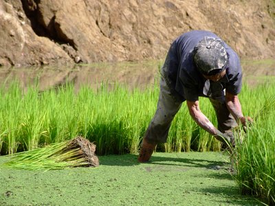 Harvesting Rice 3