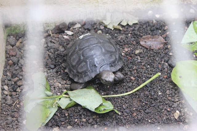 Little giant tortoise