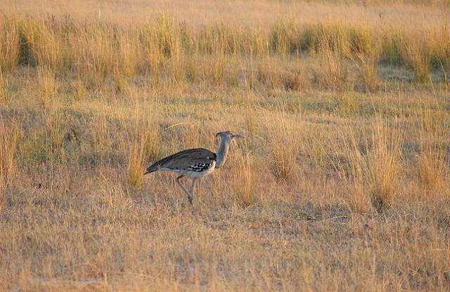 Kori Bustard - largest flying bird in Africa