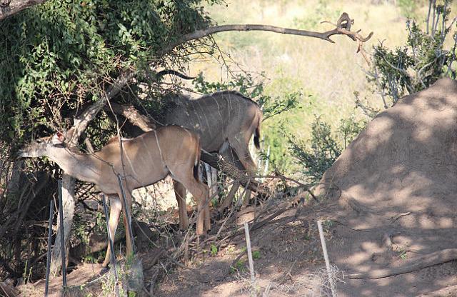 Kudu - distinguishable stripes