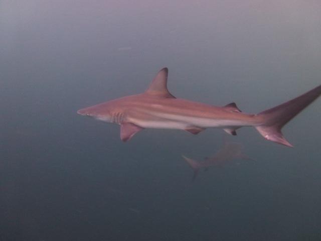 Galapagos sharks!