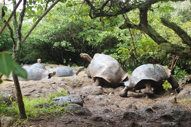 Colony of giant tortoises