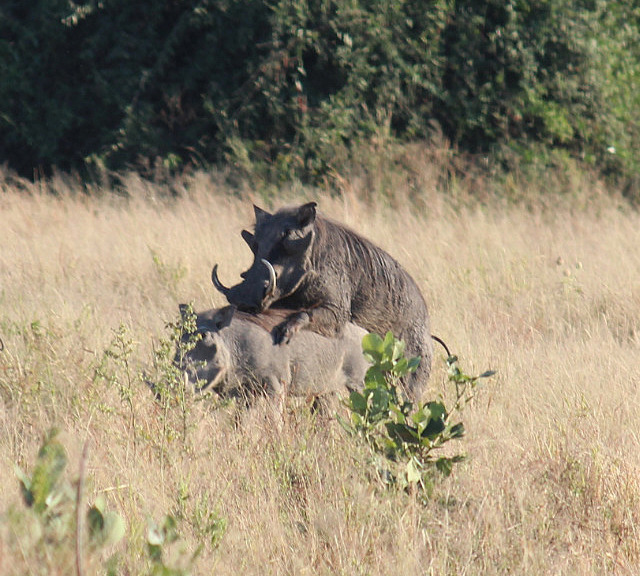 Warthogs doing the nasty