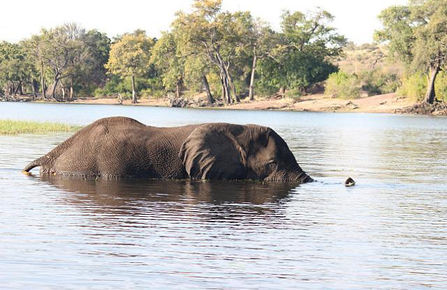 Elephant going for a swim