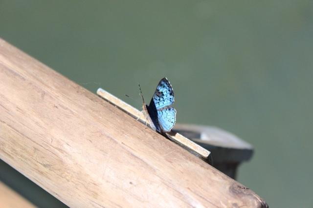 Iguazu wildlife: Butterfly