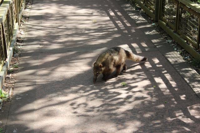 Iguazu wildlife: Coati