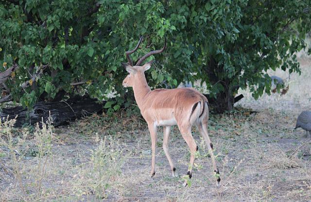 Impala - nice horns