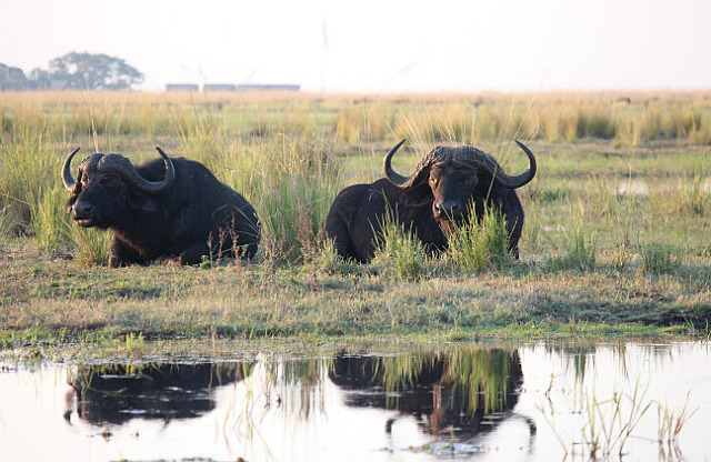 African / Cape Buffalo - one of the The Big Five
