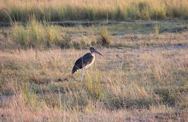 Marabou Stork - not the prettiest bird