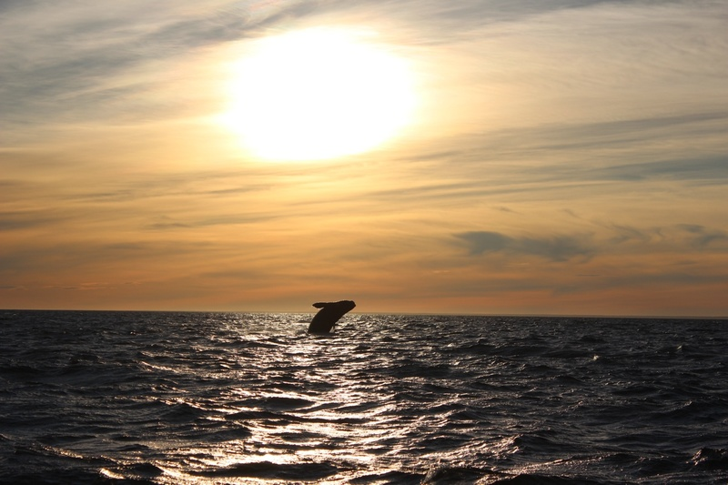 Southern right whale jumping out of the water