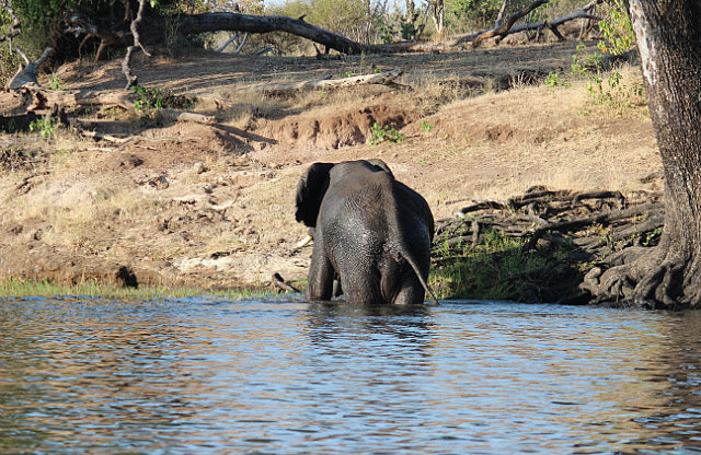 Elephant successfully crossing the Chobe River