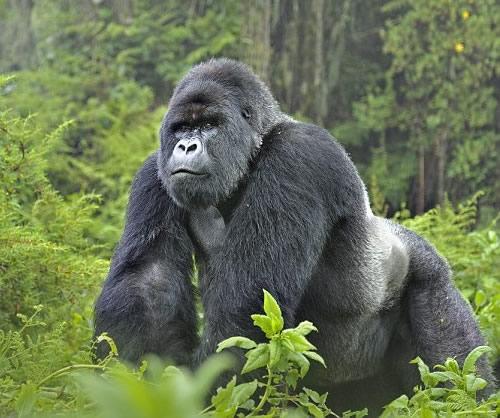 Mountain Gorilla In Bwindi Impenetreble Forest National park Uganda