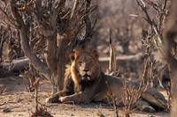 Lion - Hwange Zimbabwe