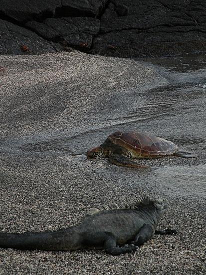Marine Iguana and turtle