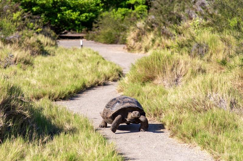 Galapagos tortoise walking in Urbina Bay, Isabela Island