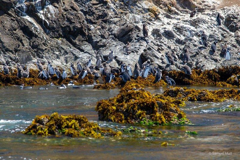 Magellanic penguins at Monumento Natural Islotes de Puñihuil