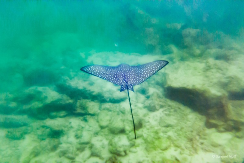 Eagle ray in Darwin Bay