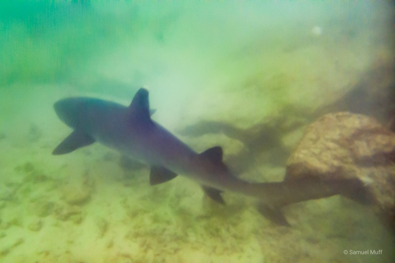 Whitetip reef shark in Darwin Bay