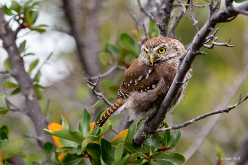 Owl near the Perito Moreno glacier