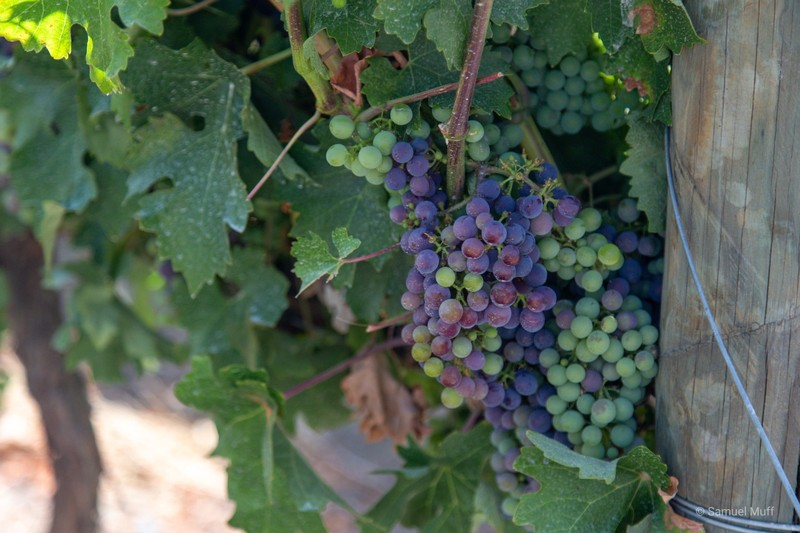 Grapes in the Maule valley