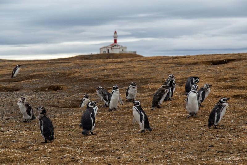 Magellanic penguins on Isla Magdalena