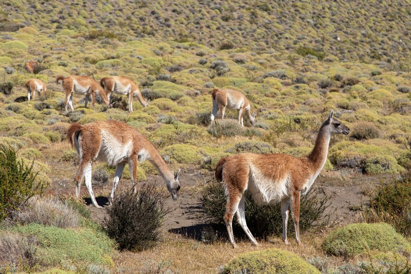 Guanacos in Parque Nacional Torres del Paine