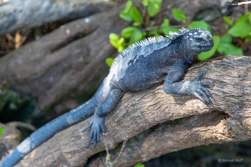 Marine iguana sitting on a tree on Fernandina Island