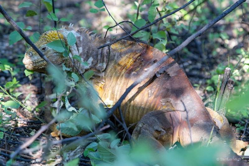 Land iguana hiding in the bushes in Urbina Bay, Isabela Island